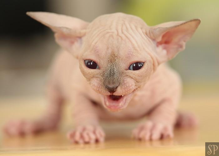 Sphynx Kittens for Sale in New York | SPHYNX NYC